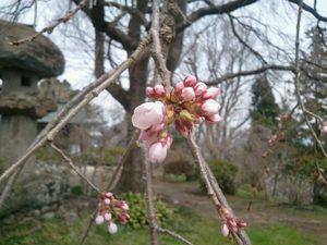 20120416桜.jpg